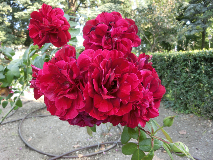bassano_-_giardino_parolini_-_la_rosa_monte_grappa_740X_-_CIMG0165